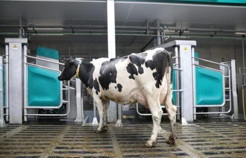 Робот корова